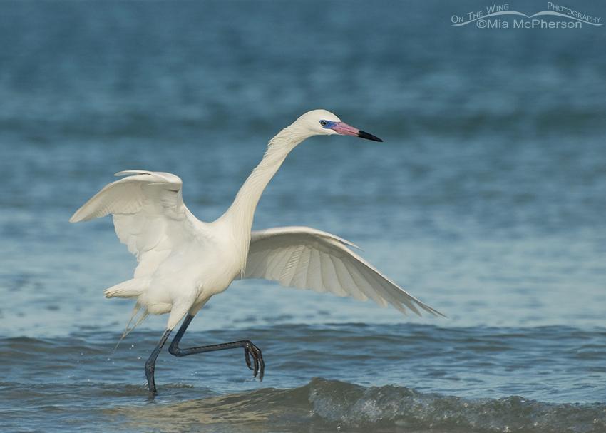 Hunting white morph Reddish Egret