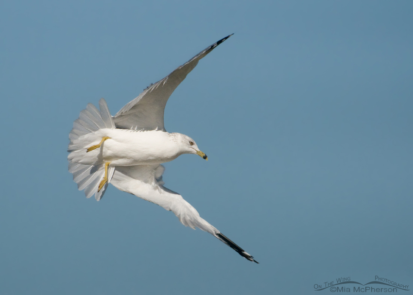 Ring-billed Gull starting a dive