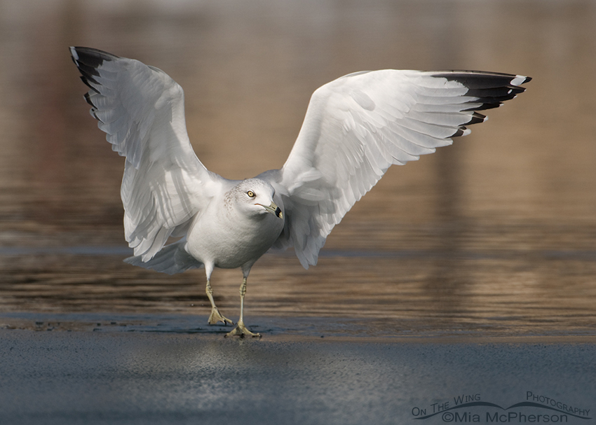 Ring-billed Gull on the edge of ice