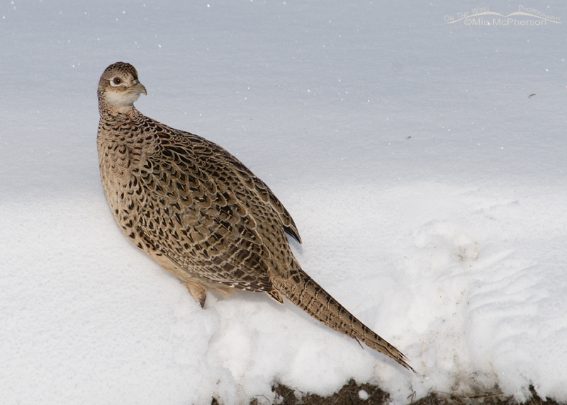 Ring-necked Pheasant hen in snow