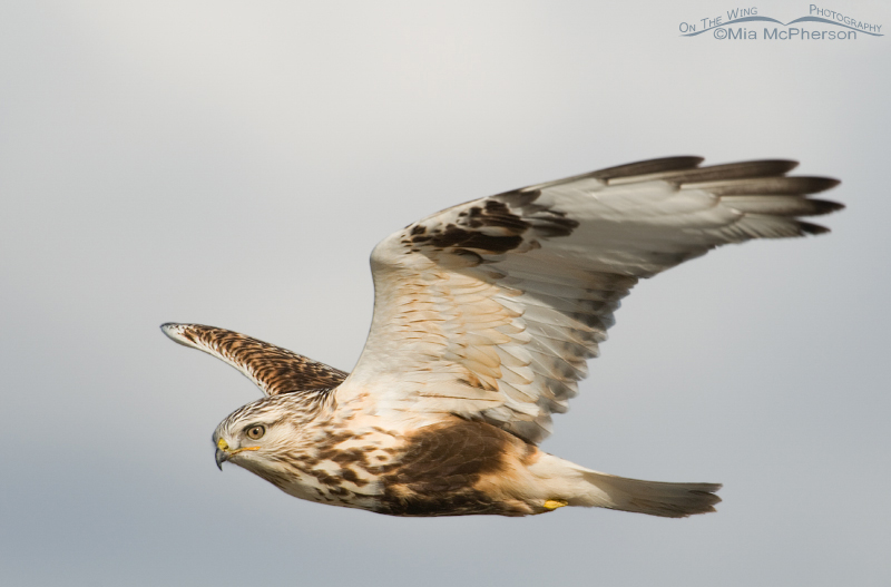 Close up Rough-legged Hawk