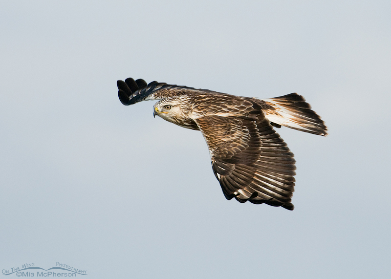 Rough-legged Hawk lifting back up after swooping to the ground