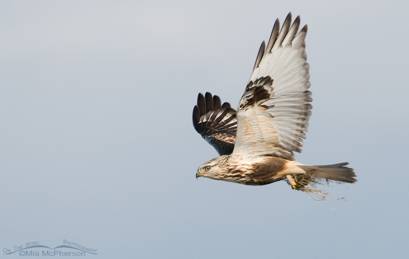 Rough-legged Hawk with a Vole in flight