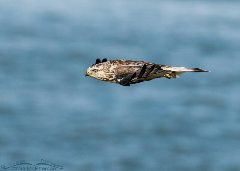 Rough-legged Hawk cruising by