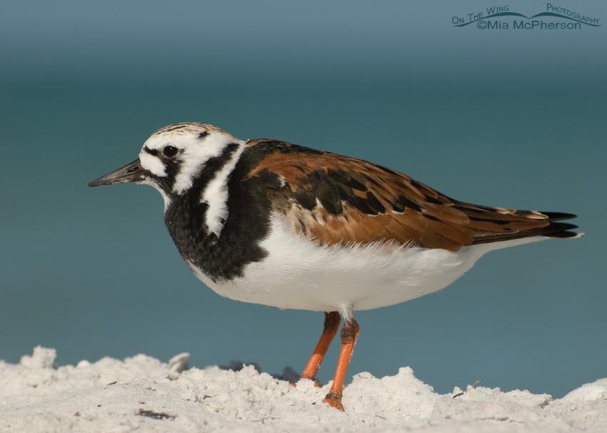 Ruddy Turnstone in breeding plumage