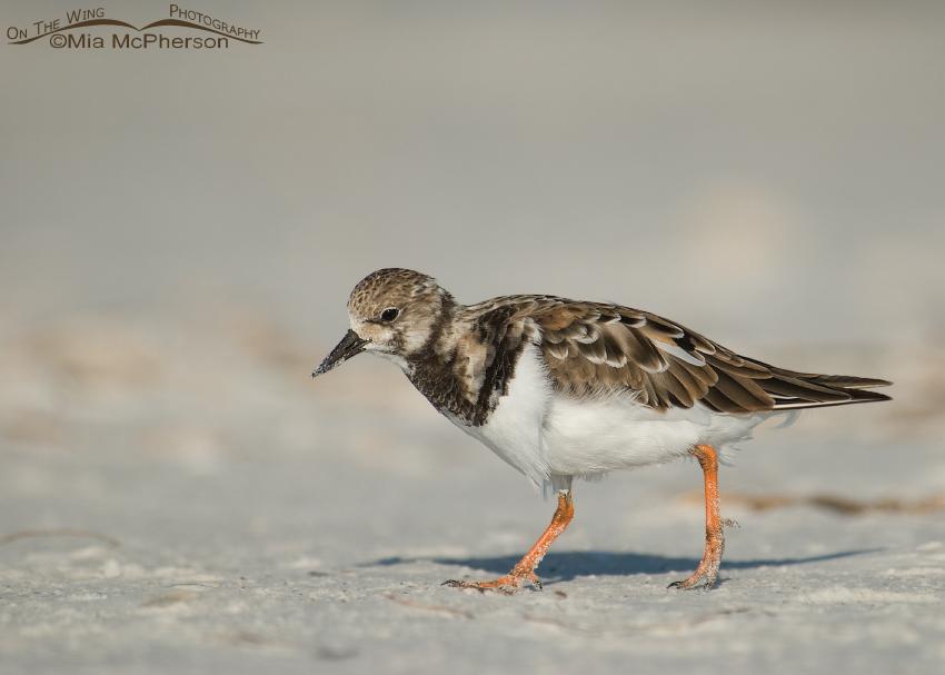 Ruddy Turnstone nonbreeding plumage