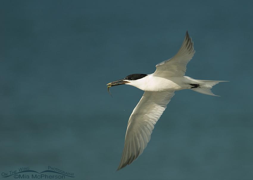 Sandwich Tern in flight with prey