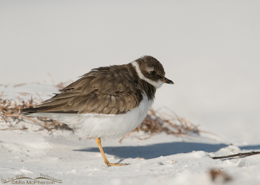 Resting Semipalmated Plover