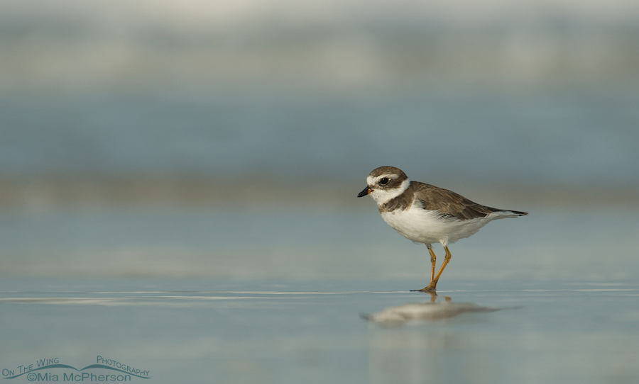 Semipalmated Plover on the shore of the Gulf