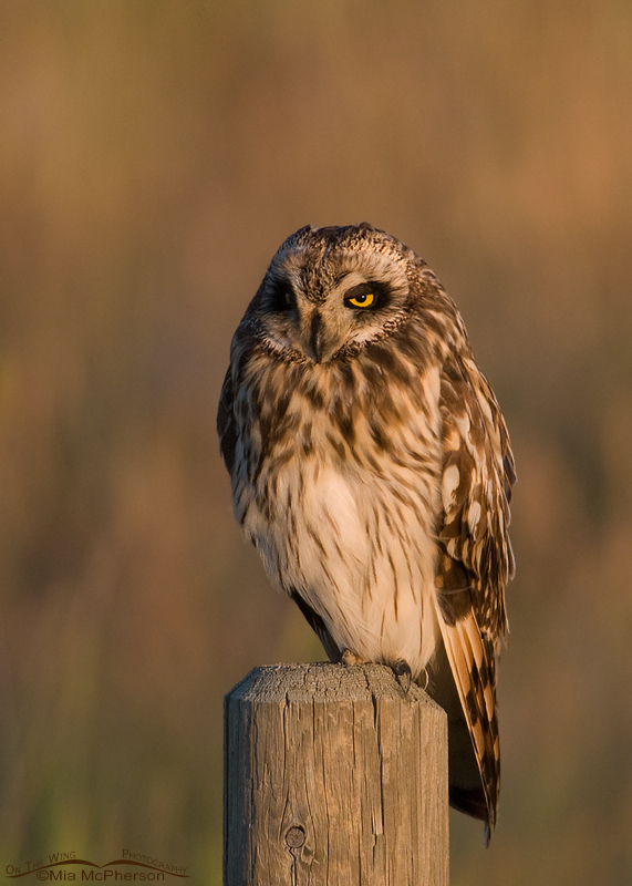 Short-eared Owl bathed in evening light, Glacier County, Montana