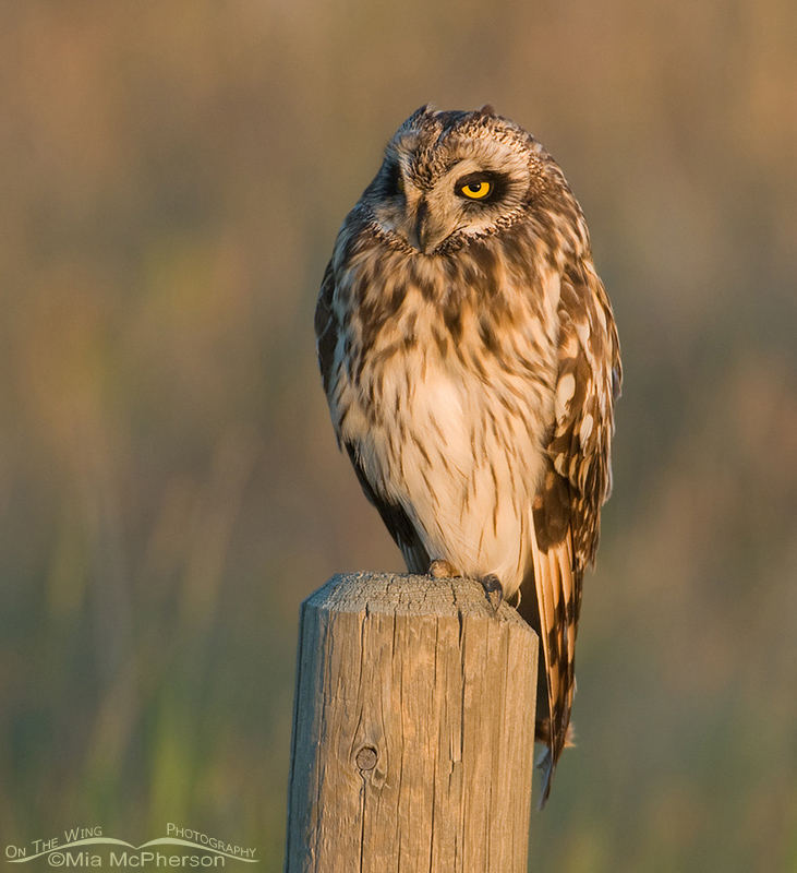 Short-eared Owl in evening light