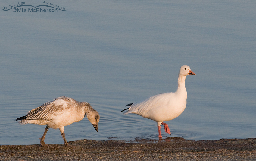 Juvenile and adult white morph Snow Geese