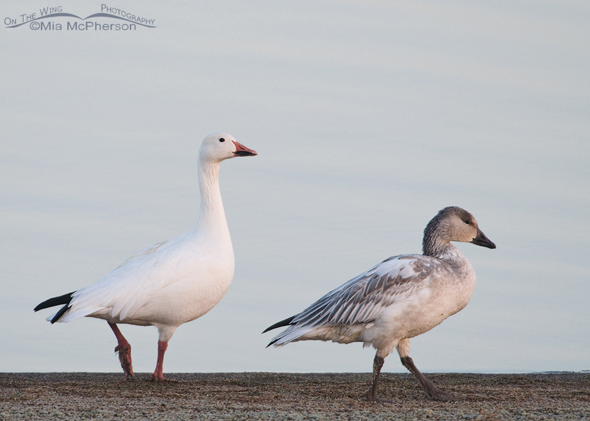 Adult and juvenile white morph Snow Geese