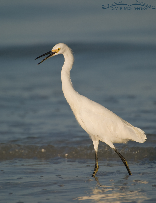 Snowy Egret in morning light
