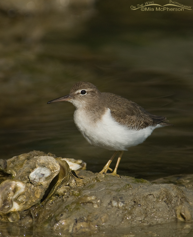 An inquisitive looking Spotted Sandpiper