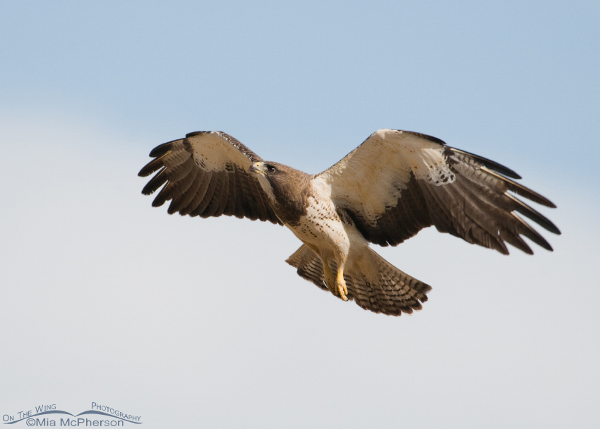 Swainson's concentrating on its landing perch