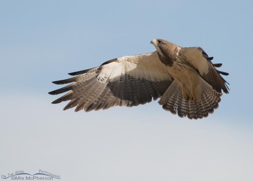Swainson's Hawk prior to landing