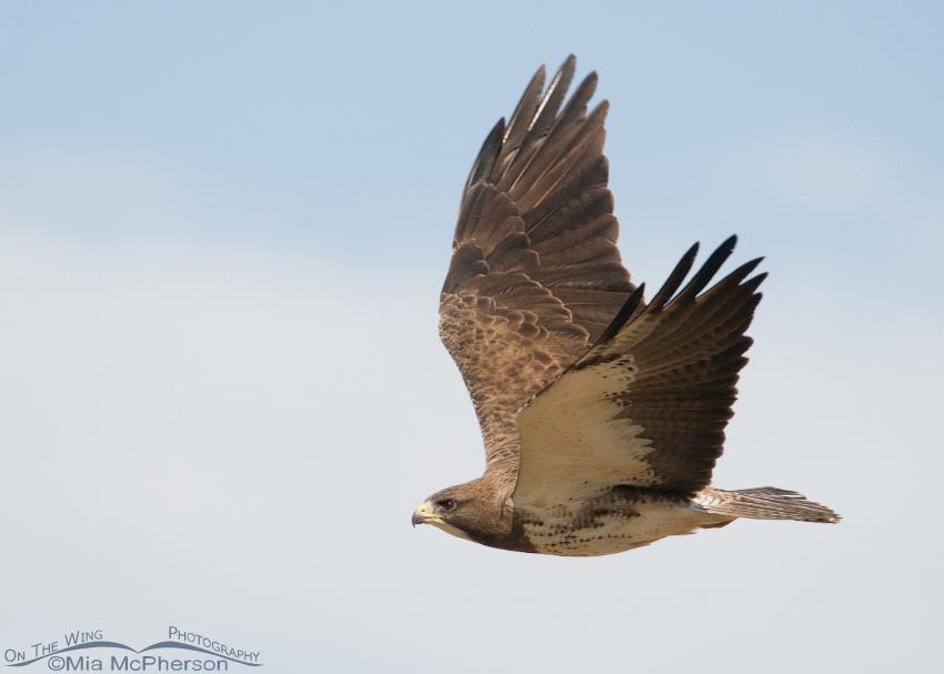 Swainson's Hawk flying away