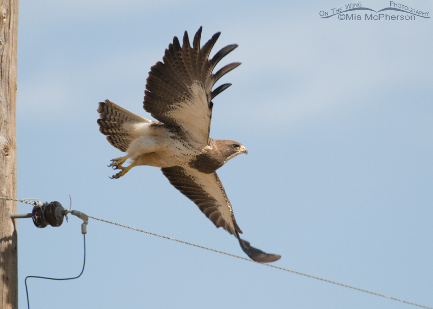 Swainson's Hawk spreading its wings