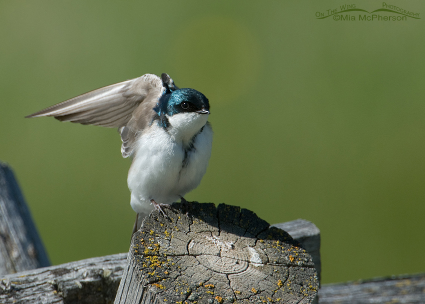 Male Tree Swallow, Red Rock Lakes NWR, Montana