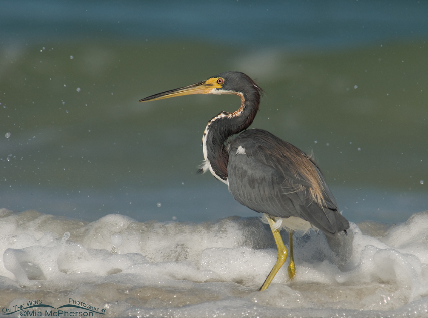 Tricolored Heron in seafoam