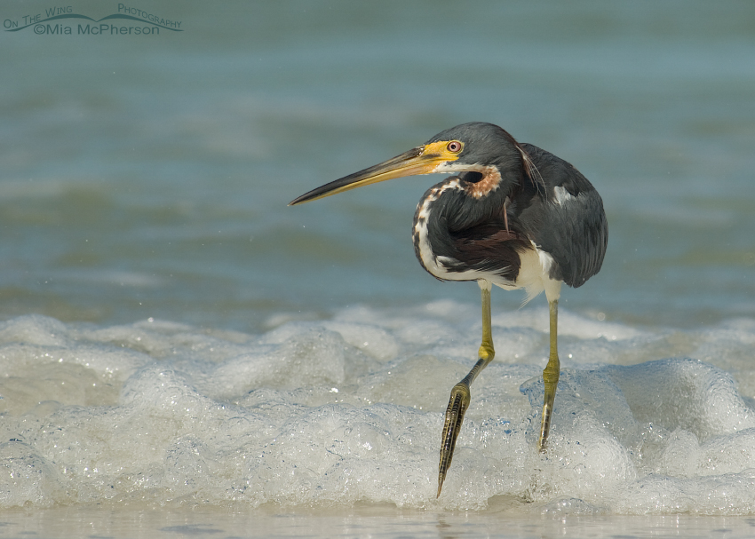 Tricolored Heron hunting in the surf of the Gulf of Mexico