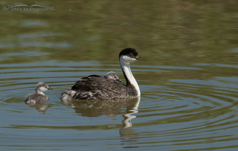 Western Grebe (Aechmophorus occidentalis) family portrait