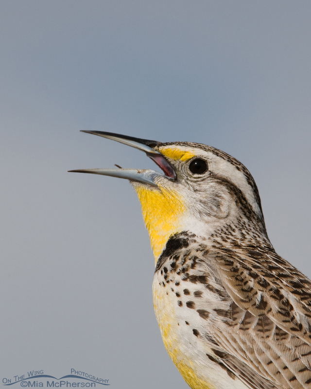 Portrait of a Western Meadowlark