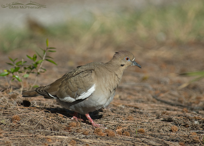 White-winged Dove on the ground