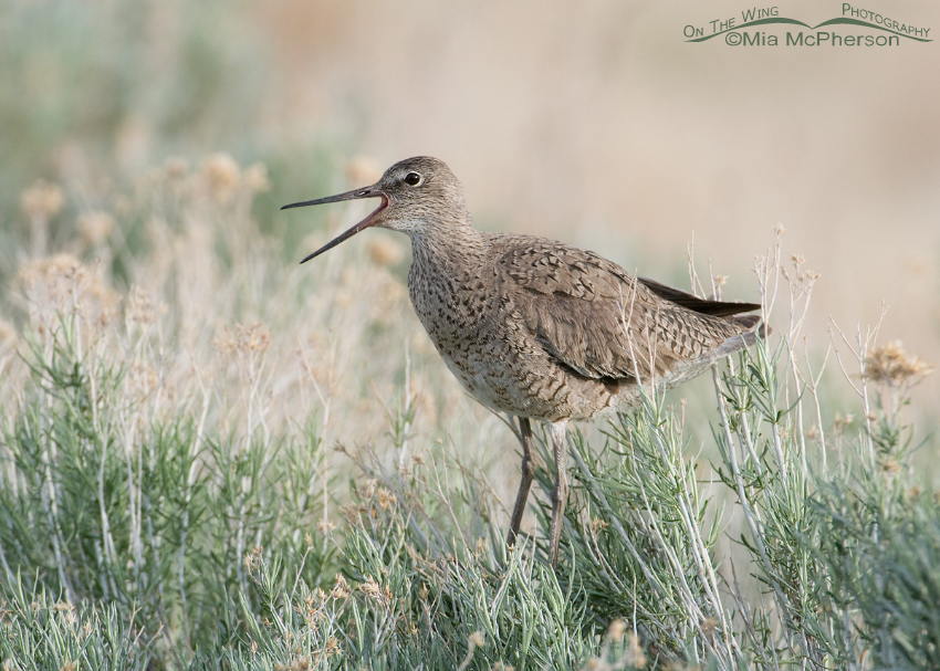 Willet calling on a Rabbitbrush