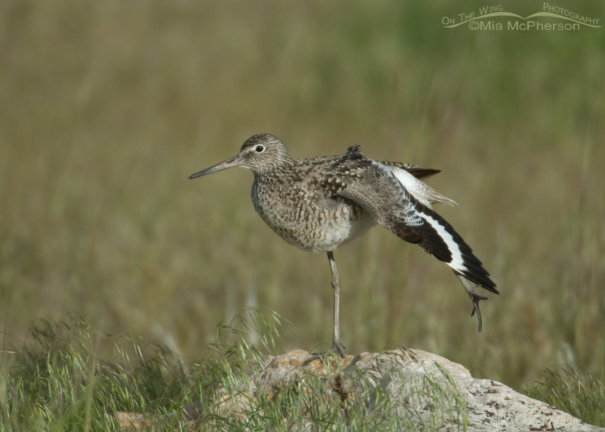 Willet stretching on a rock