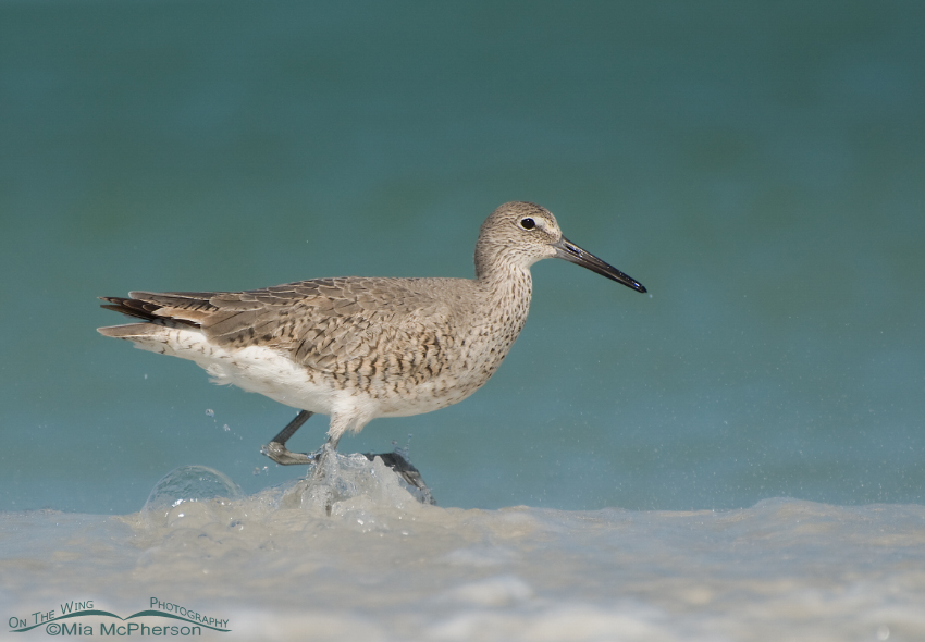 Willet in seafoam on the Gulf of Mexico