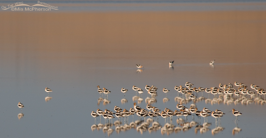 American Avocets at rest