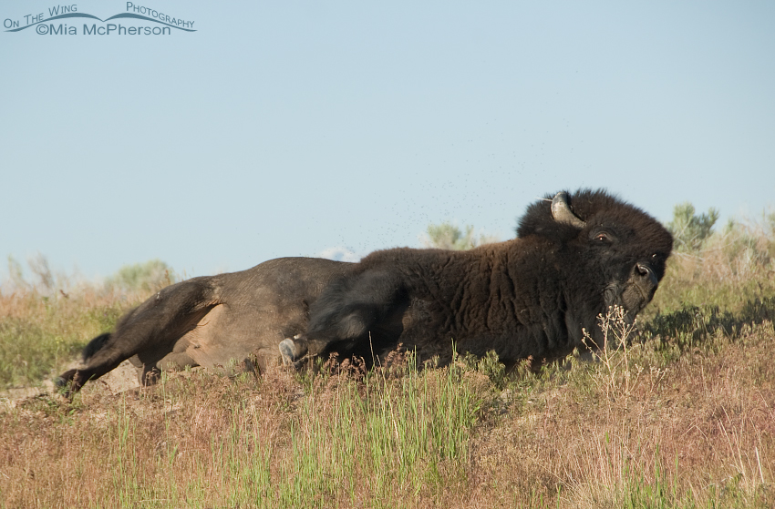 Bison Bull rolling in a wallow