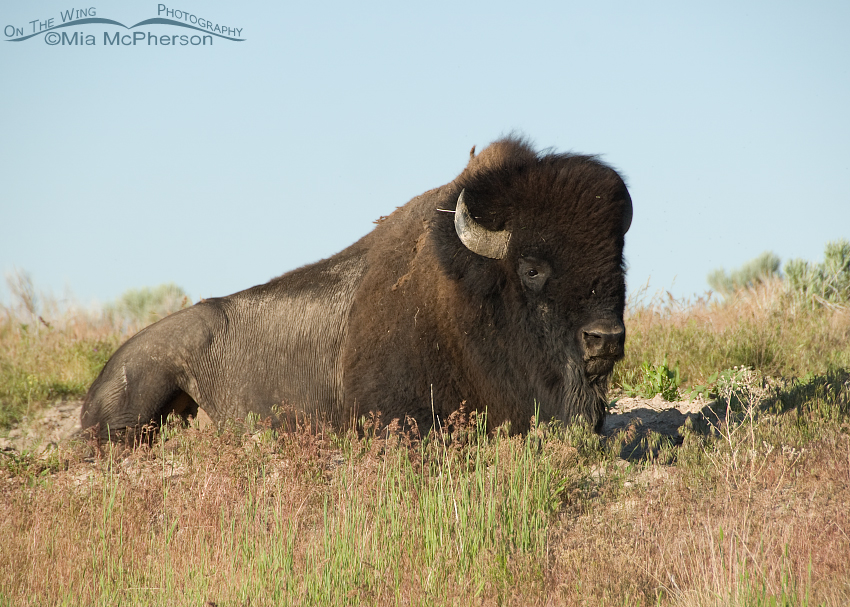Bison Bull laying down