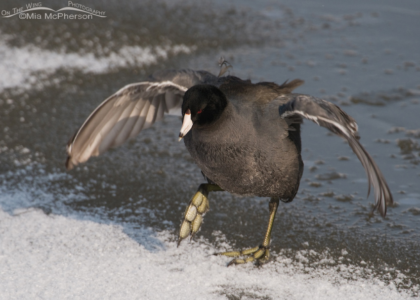 American Coot shaking off