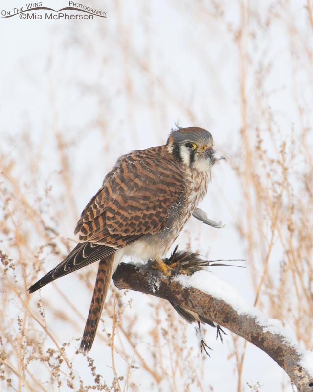 American Kestrel female and her prey