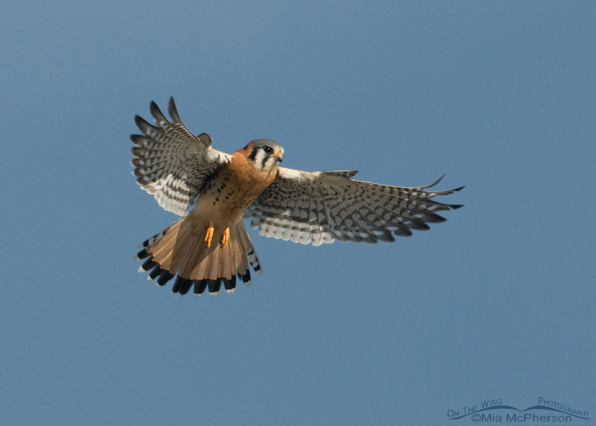 Male American Kestrel hovering