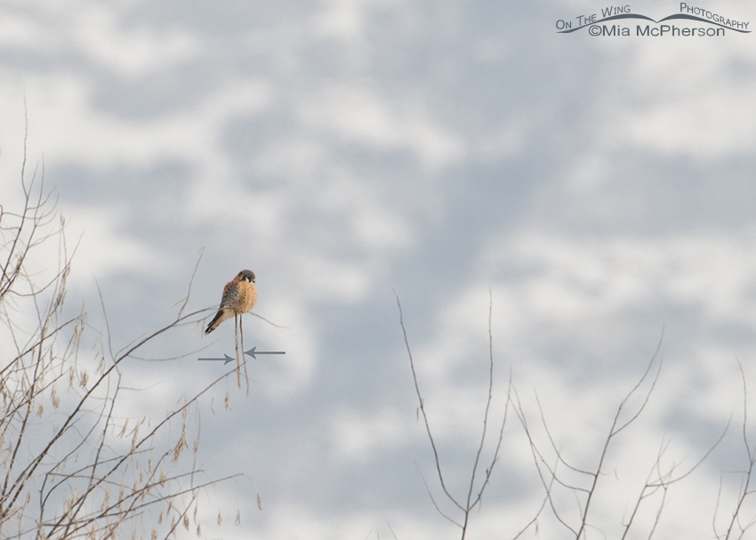 Male American Kestrel with jesses attached