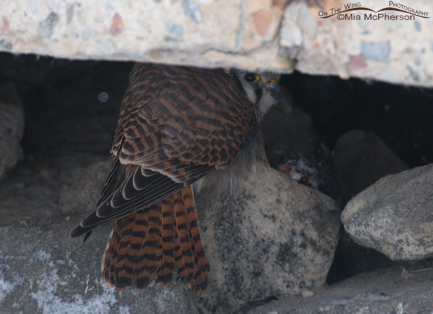 Kestrel hiding with her prey under a concrete slab
