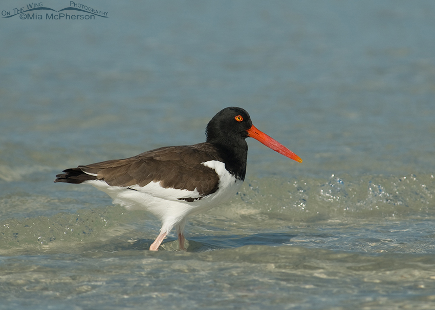 Adult American Oystercatcher in the surf of the Gulf of Mexico