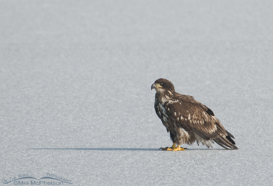 Second year Bald Eagle on ice