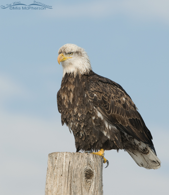 Perched four year old Bald Eagle