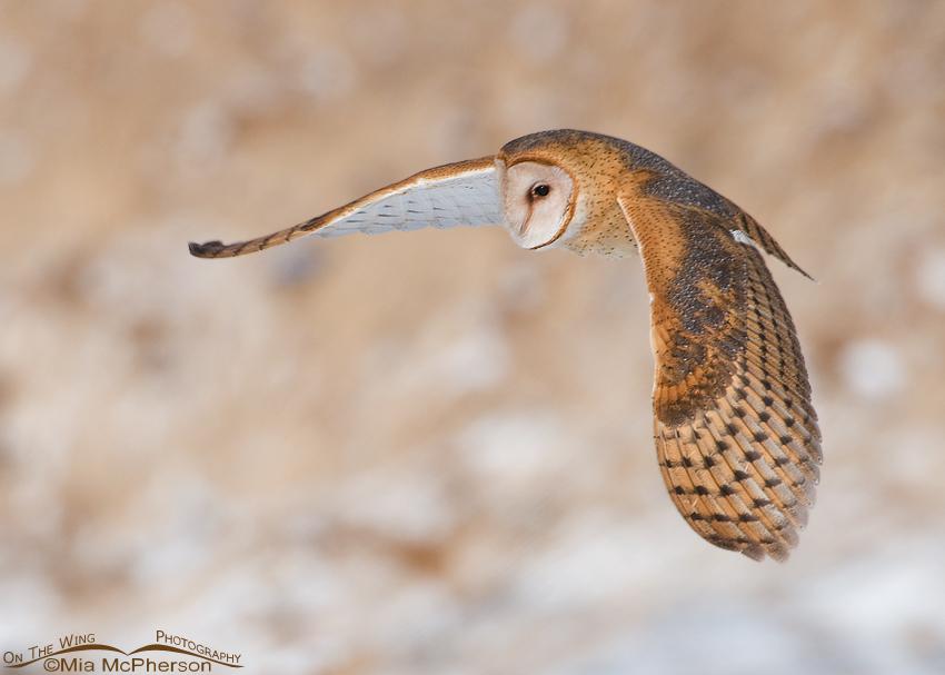 Adult Barn Owl in flight
