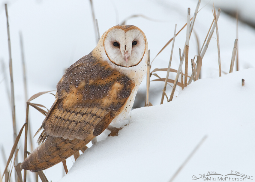 Barn Owl in snowy marsh habitat