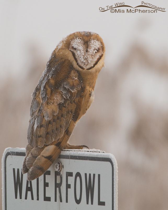 Frost covered Barn Owl