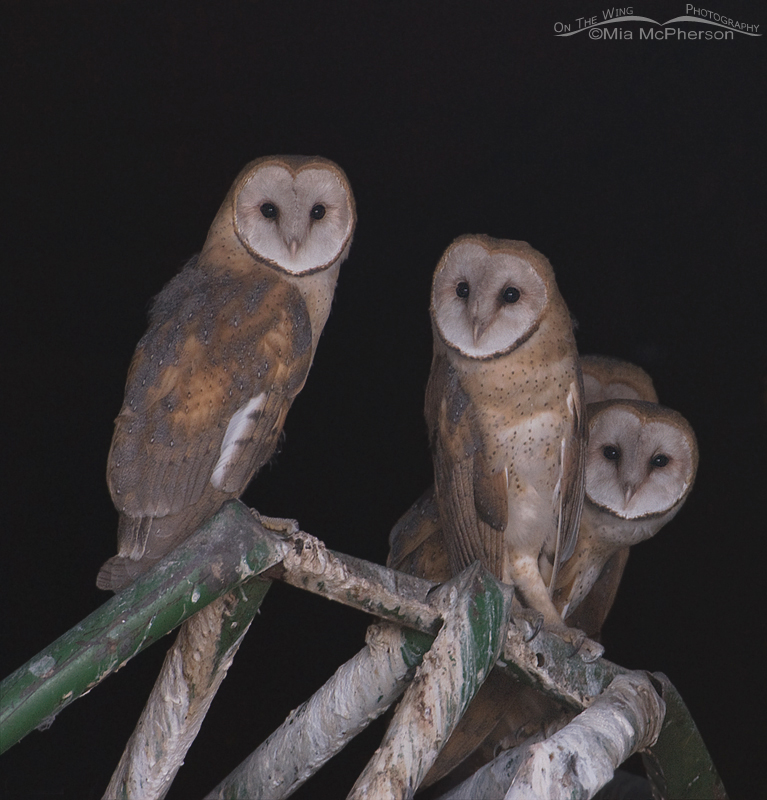 Barn Owls in an old trailer