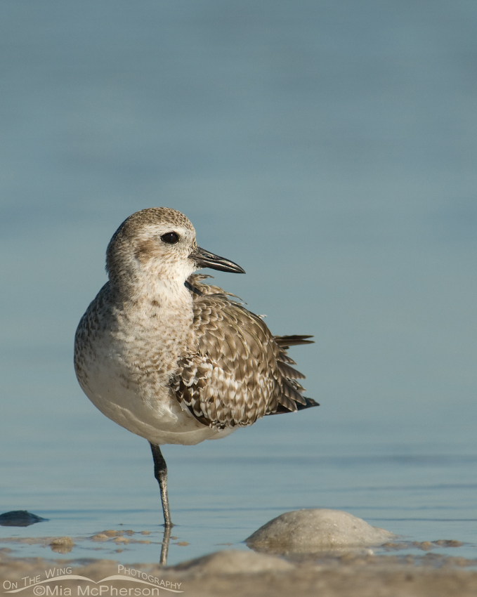 Nonbreeding Black-bellied Plover on one leg