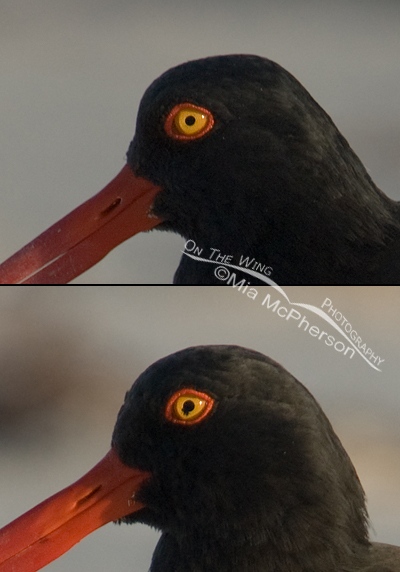 American Oystercatcher composite with blown eye