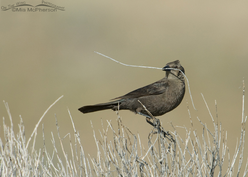 Female Brewer's Blackbird with nesting material